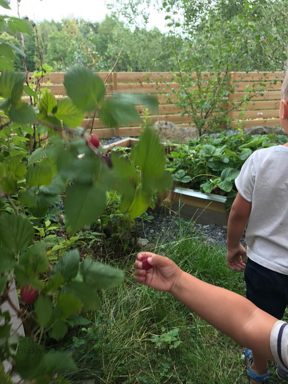 Frukt/bærhagen vår @frubevershverdag