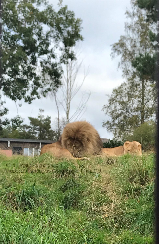 Løvene - sinnsykt flotte, mektige!
