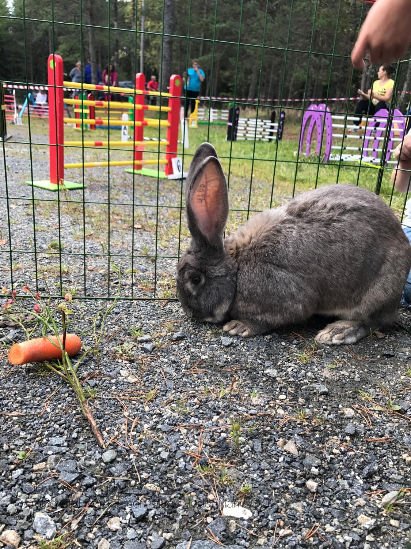 Frubevershverdag kanin på størrelse med en kenguru