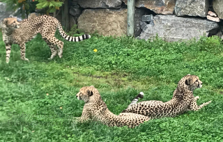 Geopardene! 3 raske brødre - visste du at de kan løpe opptil 112 km i timen?!