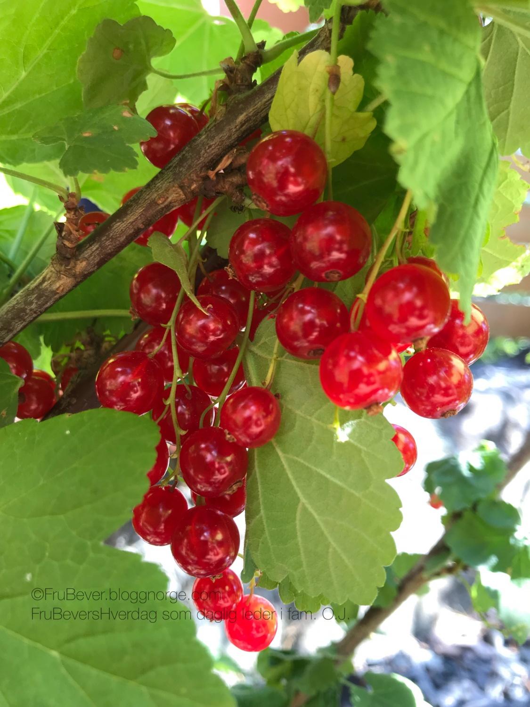 Økologisk kortreist bær // frukthage