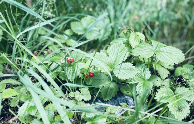 Markjordbær 🍓 [FruBeversHverdag]