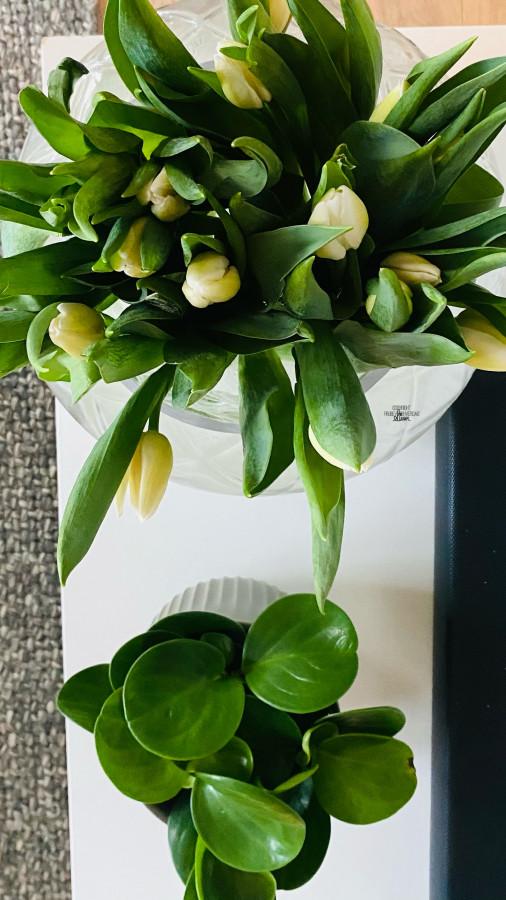 Tulipanens dag 💐 [FruBeversHverdag]