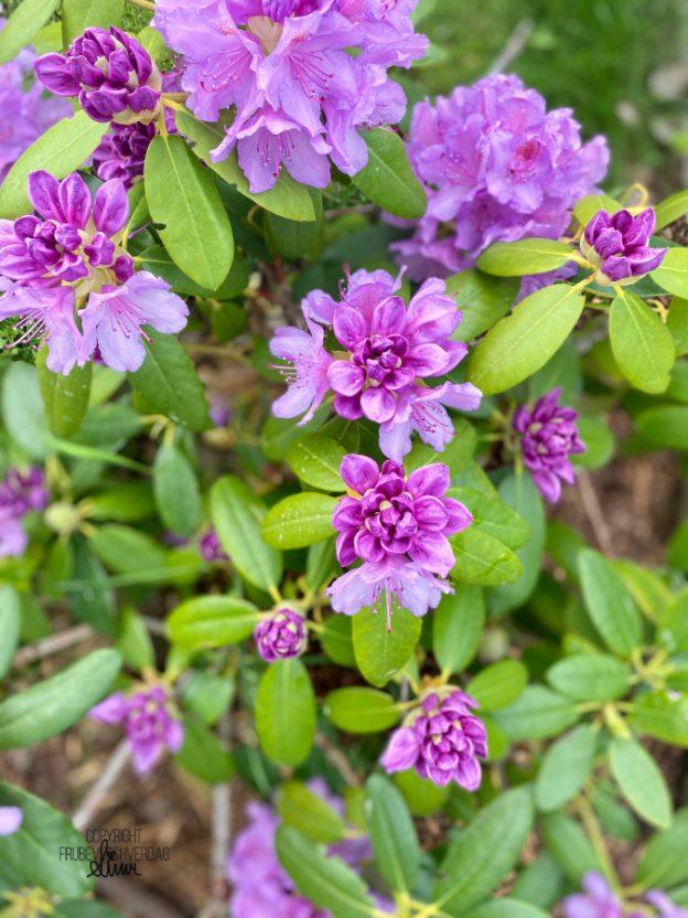 rhododendron 🌸 Hagelivet er ganske greit! [FruBeversHverdag]