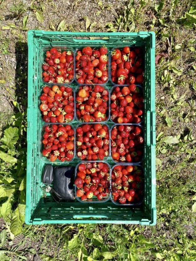 Selvplukk jordbær 🍓 [FruBeversHverdag]