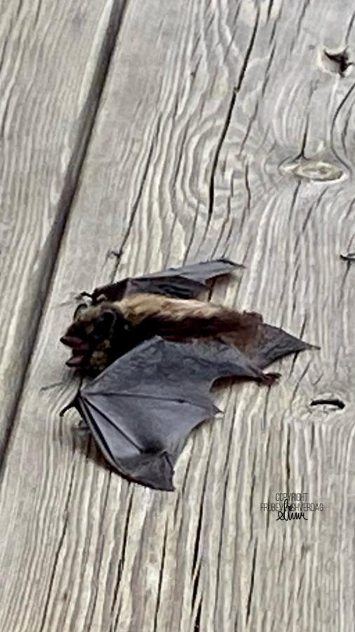 Besøk av Batman på terrassen 🦇 [FruBeversHverdag]