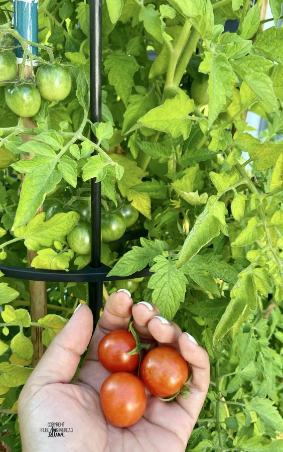 Tomatplantene er høyere enn meg! 🍅🍅🍅 FruBeversHverdag